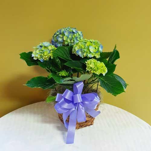 PF-312: Pink or Blue Hydrangea Plant ($75.00)