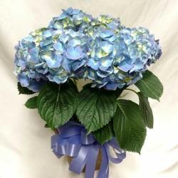 PF-312: Hydrangea Plant ($75.00)