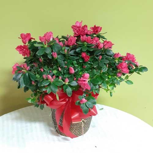 PF-316: Azalea Plant ($75.00)