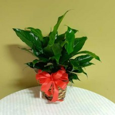 PF-318: Peace Lily Plant ($50.00)